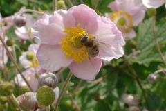 Honigbiene in Sommerblumen