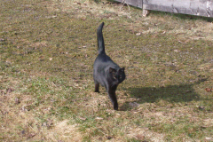 tomcat Blacky