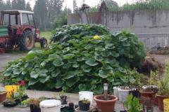 Unser Kompostplatz verwandelt sich in eine Kürbisland