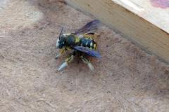 """Eine süße Gartenwollbiene, sie ist eine Solitärbiene, eine sogenannte """"Wildbiene"""""""