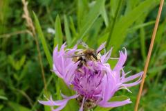 """Gartenwollbiene, sie ist eine Solitärbiene, eine sogenannte """"Wildbiene"""""""