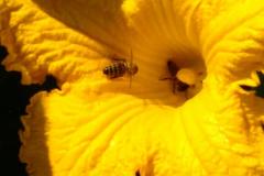 Bienen bei ihrer Bestäubungsarbeit am Kürbis