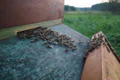Bienen ziehen in eine neue Beute ein