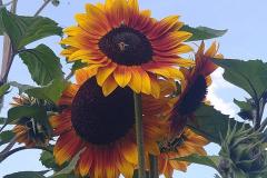 Sonnenblumen mit 2 Bienen