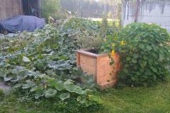 Unser Kompostplatz ist unter wild gewachsenen Kürbispflanzen verschwunden