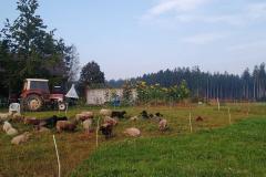 Idylle am Hof mit Schlepper, Schafe und Sonnenblumen