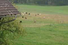 Schafe vom Küchenfenster aus